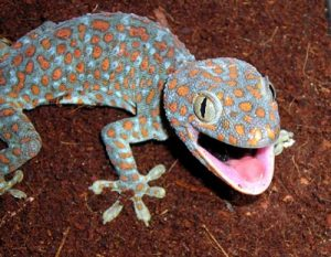 Images of Tokay Gecko