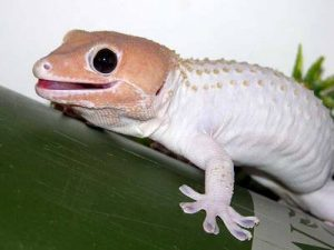 Tokay Gecko Morphs Photo