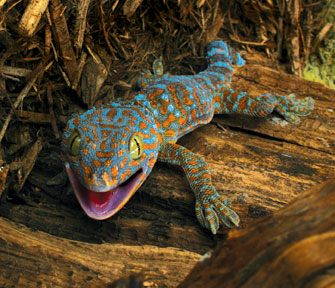 Photos of Tokay Gecko