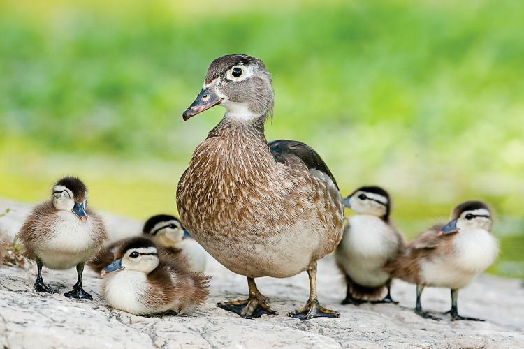 how to raise baby wood ducks