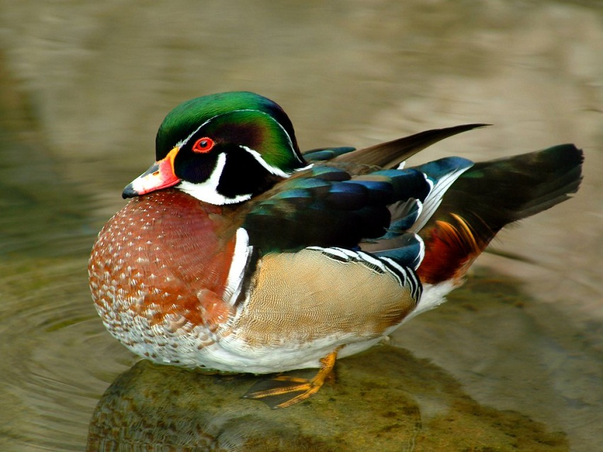 Wood Duck Facts Habitat Diet Call Migration And Pictures