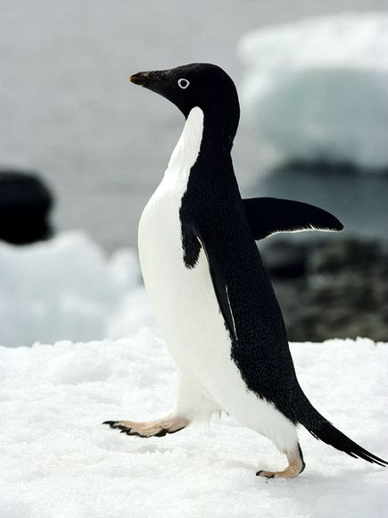 Images of adelie penguins - photo#10