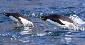 Adelie Penguin Swiming