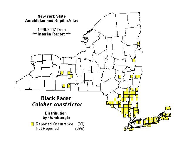 Black Racer Snake Distribution black racer snake facts, habitat, diet, adaptation, pictures