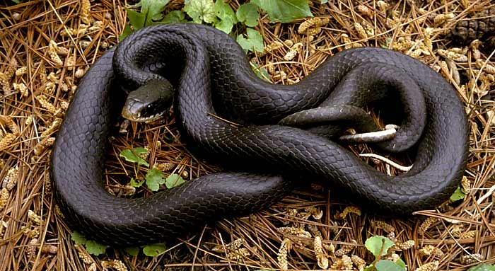 Black Racer Snake Facts Habitat Diet Adaptation Pictures