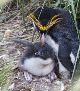 Macaroni Penguin Babies