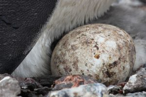 Macaroni Penguin Eggs