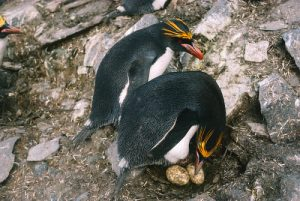 Macaroni Penguin Eggs Pictures