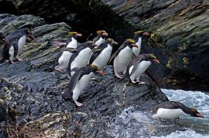 Macaroni Penguin Habitat