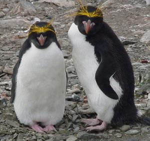 Macaroni Penguin Images