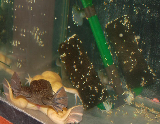 African Clawed Frog Facts, Habitat, Diet, Pet Care, Pictures