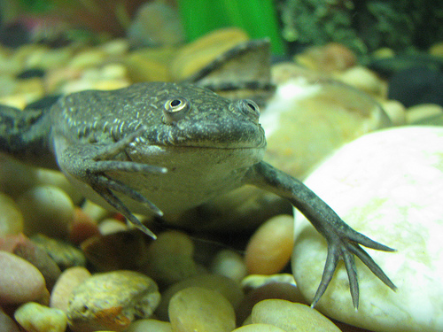 pictures How to Care for African Dwarf Frogs