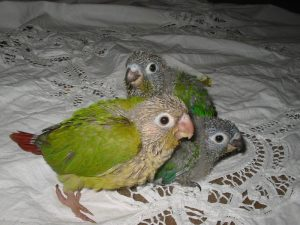 Baby Green Cheeked Conure
