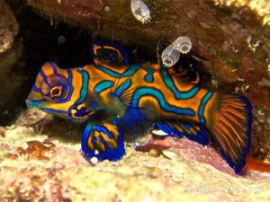 Baby Mandarinfish