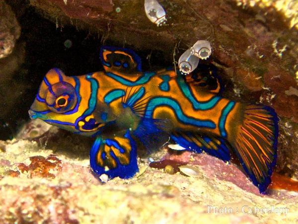 Mandarinfish (Mandarin Dragonet) Facts, Pet Care, Diet, Pictures