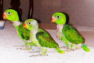 Quaker Parrot (Monk Parakeet) Facts, Diet, Lifespan, Pet ...