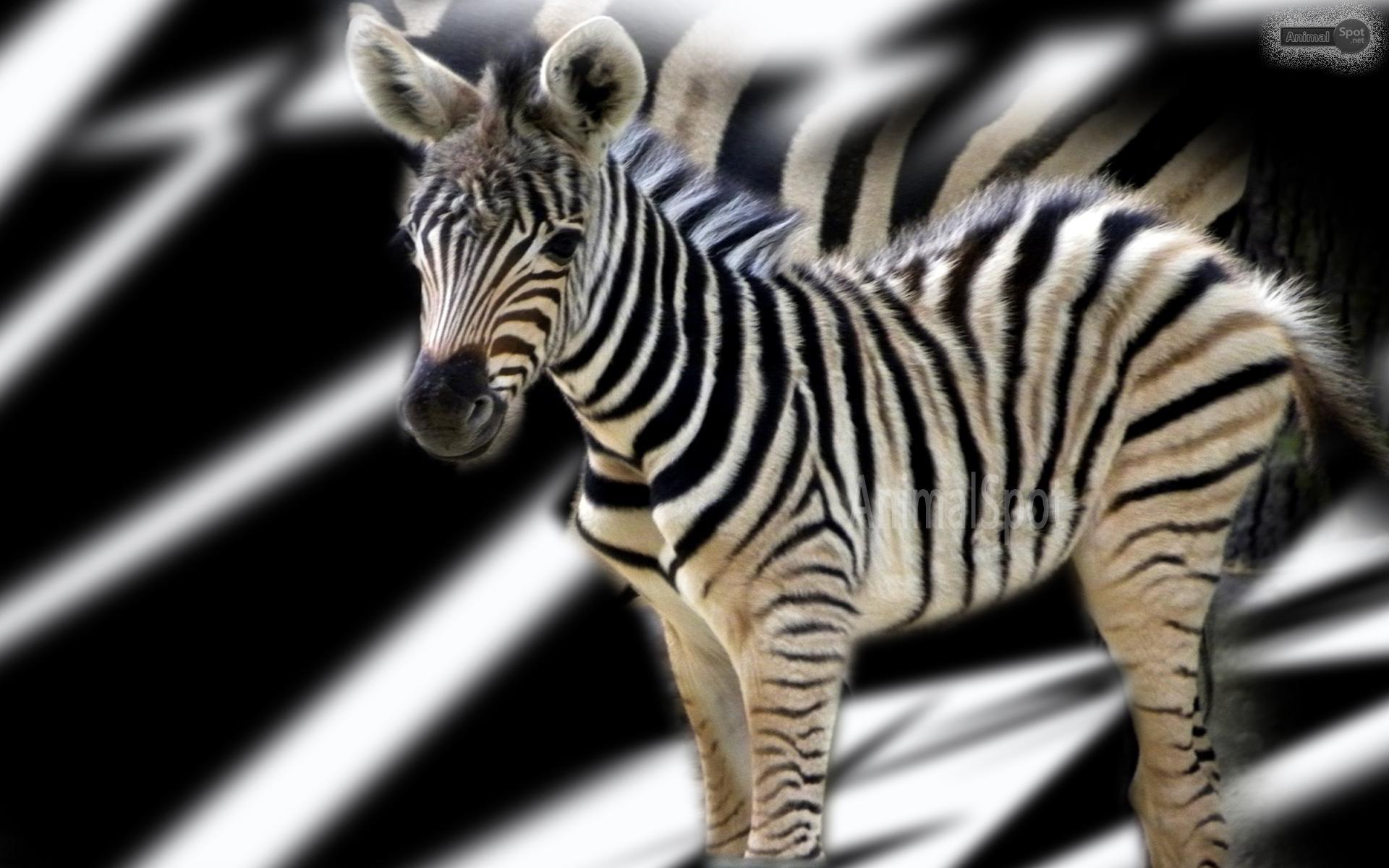 Zebra Wallpapers - Animal Spot