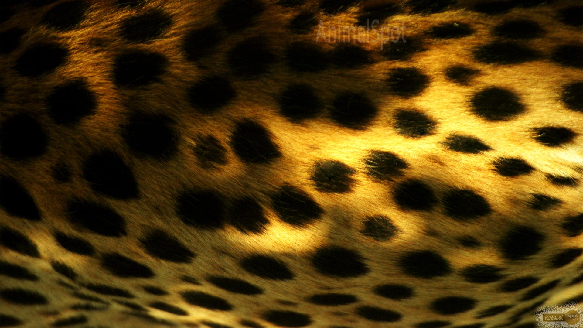 Cheetah wallpaper wallpapers 1422988 for Printed wallpaper