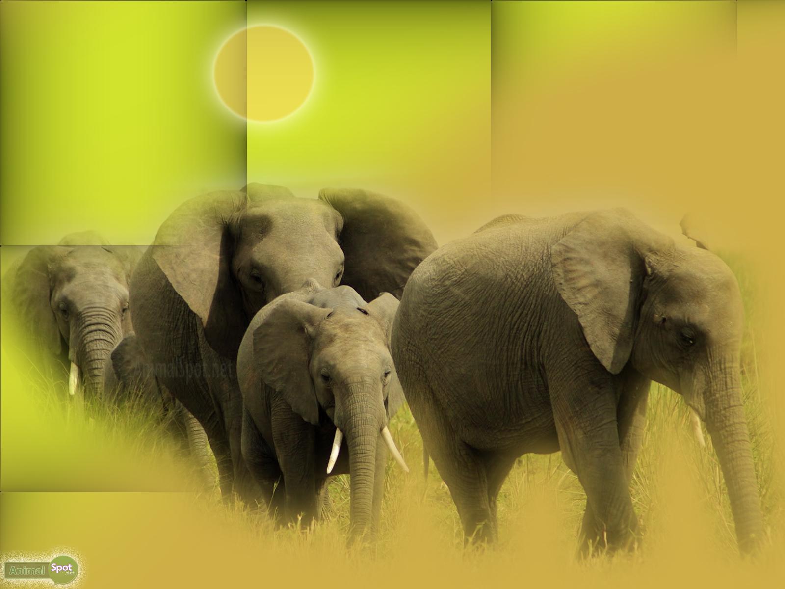 Elephant Wallpapers Animal Spot