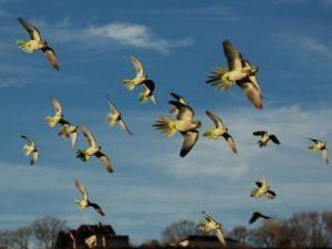 Flying Quaker Parrot