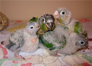 Green Cheeked Conure Babies