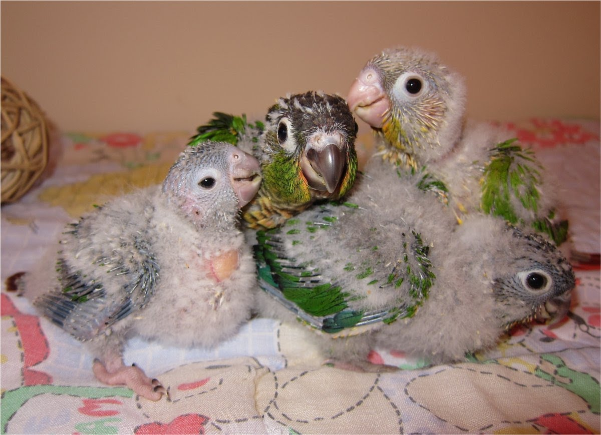 Green-Cheeked Conure Facts, Habitat, Diet, Adaptations ... - photo#3