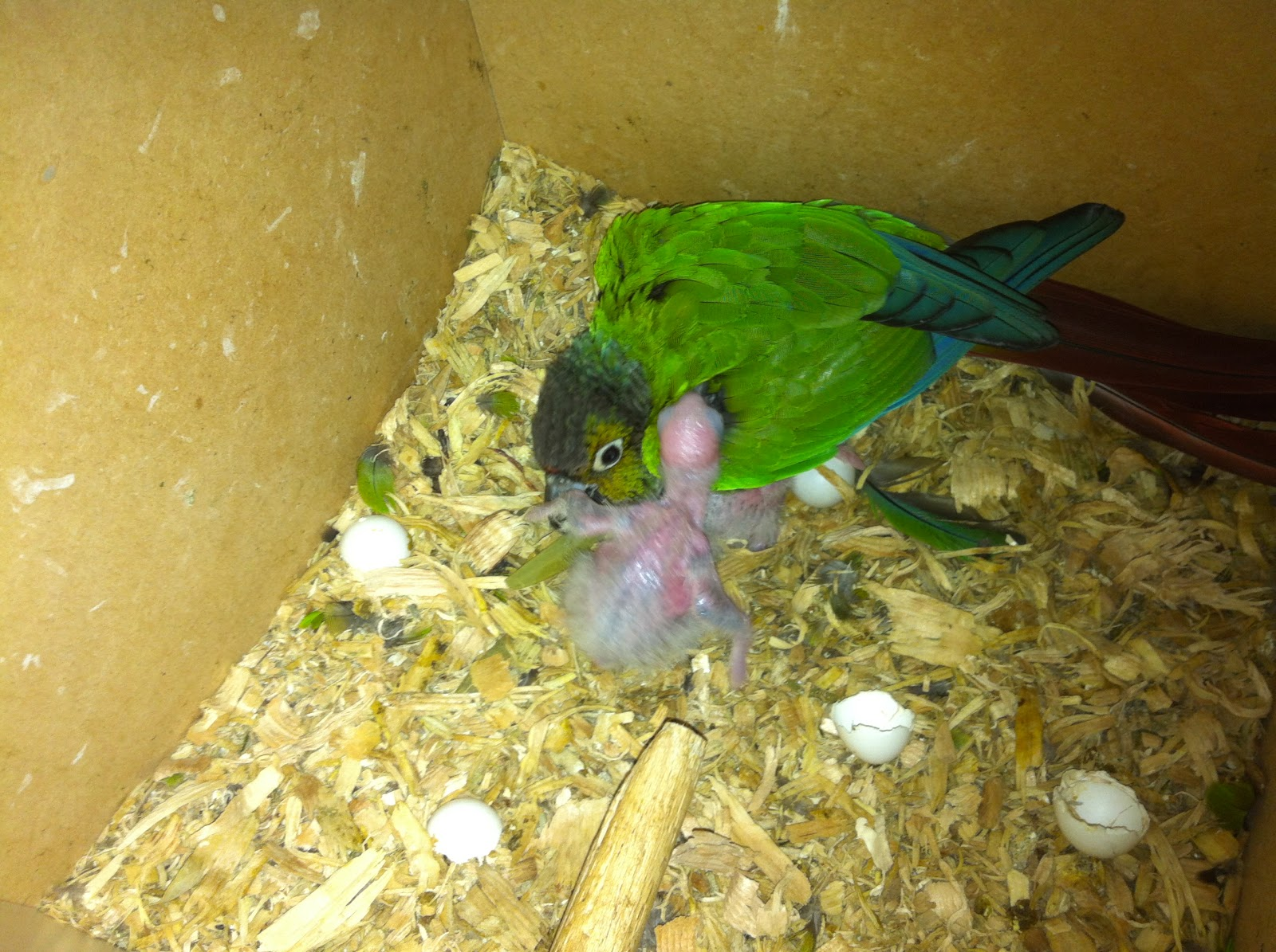 Green-Cheeked Conure Facts, Habitat, Diet, Adaptations, Pictures