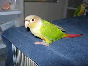 Green Cheeked Conure Cinnamon
