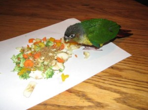 Green Cheeked Conure Eating