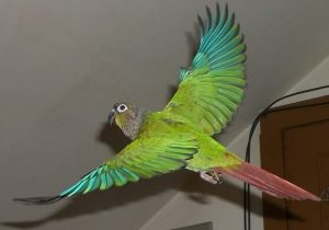 Green Cheeked Conure Flying