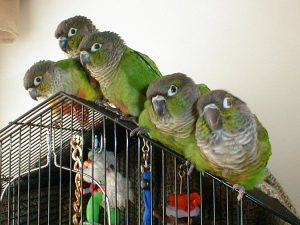 Green Cheeked Conure Images