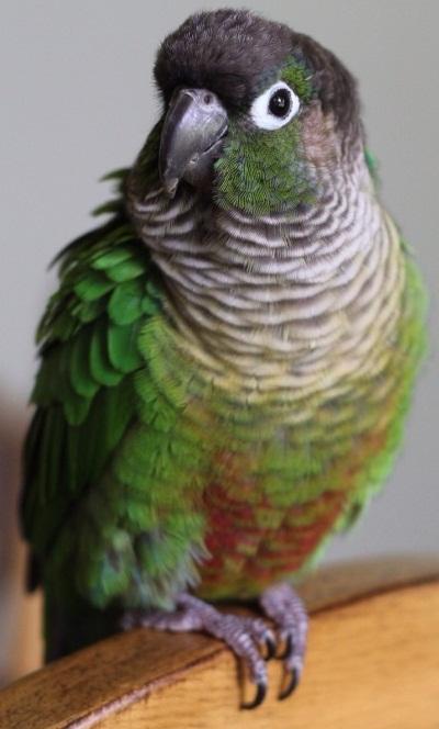 Green-Cheeked Conure F...