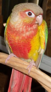 Green Cheeked Conure Pineapple