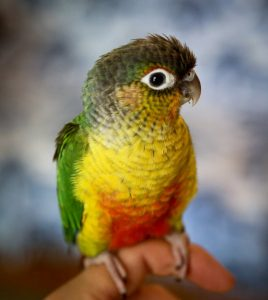 Green Cheeked Conure Yellow Sided