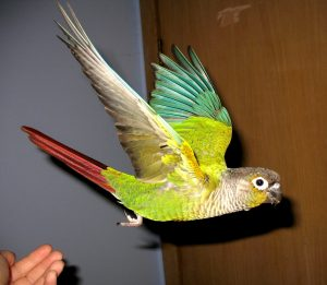 Green Cheeked Conure in Flight