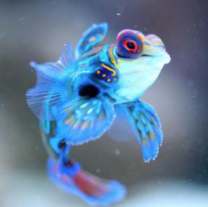 Mandarinfish Baby