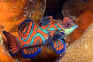 Mandarinfish Images