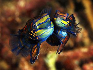 Mandarinfish Mating Pictures