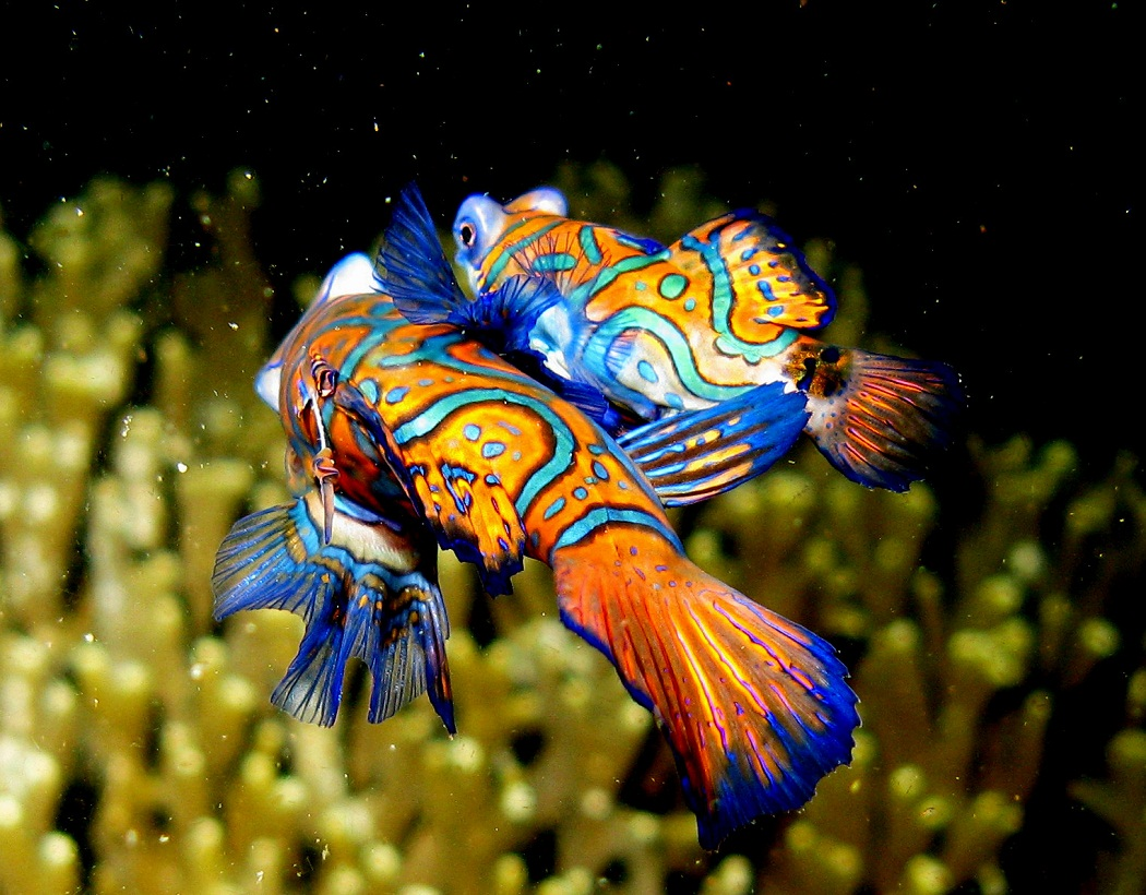 mandarinfish mandarin dragonet facts pet care diet. Black Bedroom Furniture Sets. Home Design Ideas