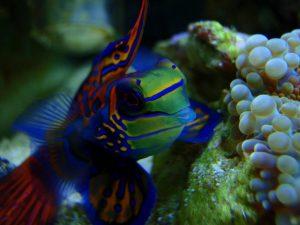 Mandarinfish Photos