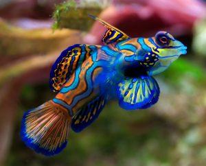 Mandarinfish Pictures