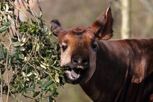 Okapi Eat