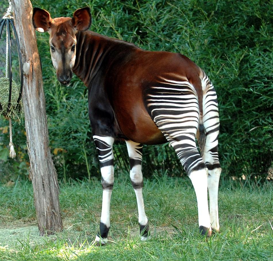 Okapi diet - photo#2