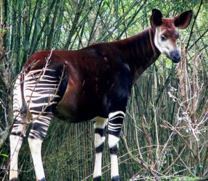 Okapi Photos