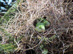 Quaker Parrot Nest Pictures