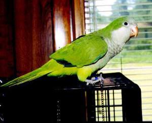 Quaker Parrot Photos