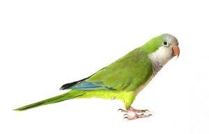 Quaker Parrot Pictures