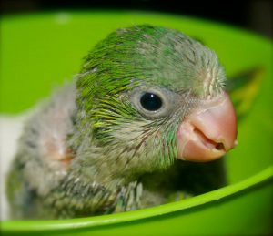 Quaker Parrots Baby