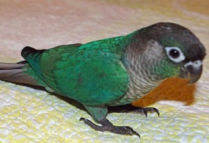 Turquoise Green Cheeked Conure