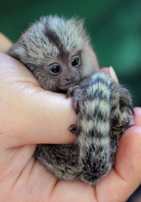 Pygmy Marmoset Facts, Baby, Habitat, Diet, Adaptations ...